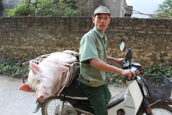 Moto-remorque 1: Le cochon