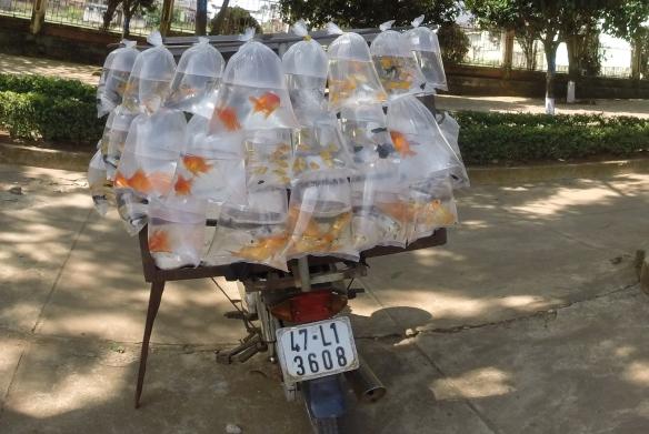 Moto-remorque 9 : Les poissons rouges